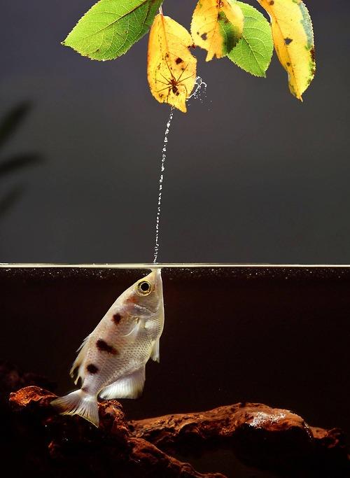 Amazing Archer Fish