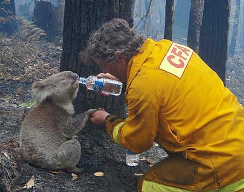 koala and fireman